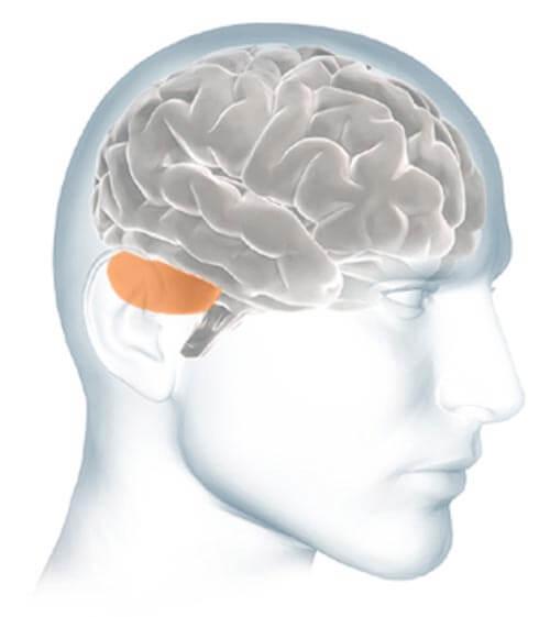 Inside The Brain Brain Basics Alzheimers Association